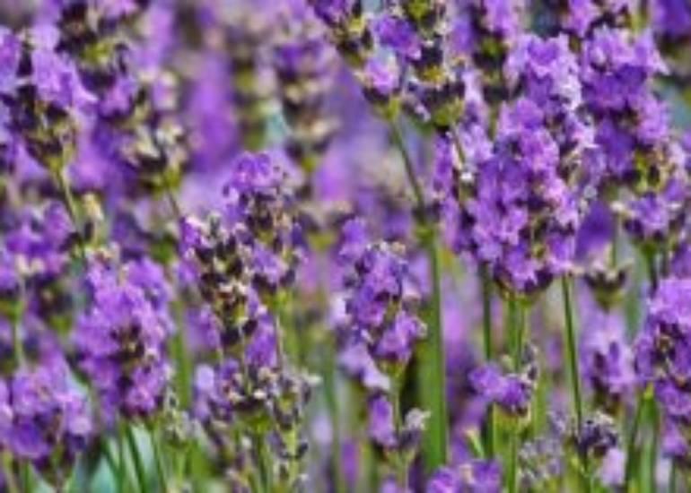 Benefici della Lavanda: tante ottime idee per utilizzarne la fragranza